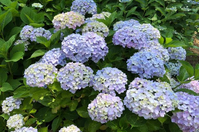 心癒される紫陽花